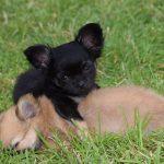 Bijt- en sloopgedrag van een pup